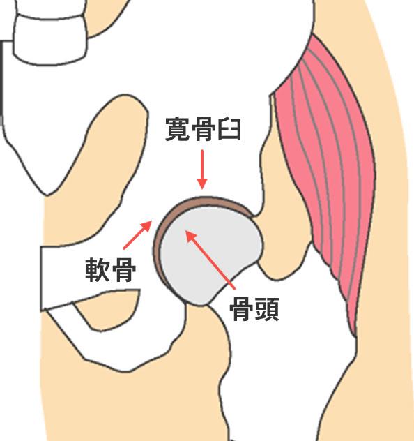 図1:股関節の構造
